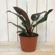 Филодендрон Империал Ред (Philodendron Imperial Red)