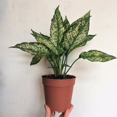 Аглаонема Супер Вайт (Aglaonema Super White)