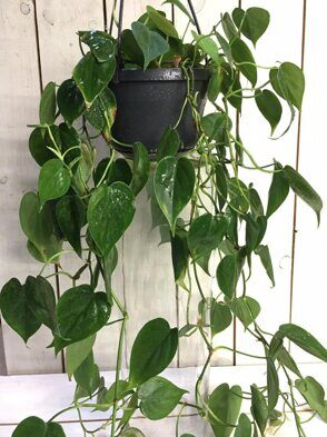 Филодендрон скандес (Philodendron scandens)