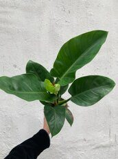 Филодендрон Империал Грин (Philodendron Imperial Green)