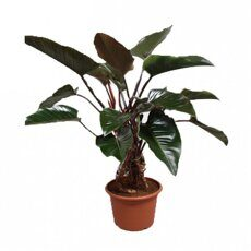 Филодендрон Конго Ред  (Philodendron Congo Red)