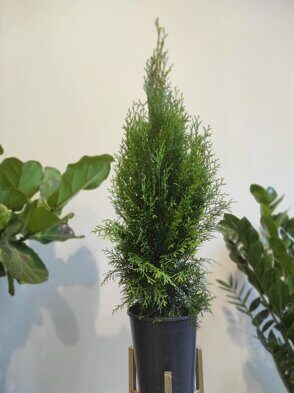 Туя Смарагд (Thuja occidentalis Smaragd)