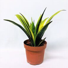 Сансевиерия Голд Флейм (Sansevieria Golden Flame)