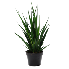 Сансевиерия Кирки Френдс (Sansevieria Kirkii Friends)